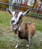 Goat on New Boston Rd