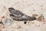 Antillean Nighthawk (Chordeiles gundlachii)
