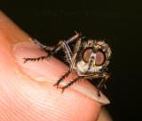 Little Robber Fly on Finger