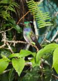 Blue-chested Hummingbird (Amazilia amabilis)