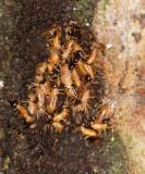 Nasutitermes corniger termites repairing tunnel