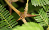 Bullhorn Acacia (Vachellia cornigera) with Pseudomyrmex ant