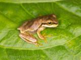 Peeper-sized Tree Frog