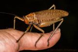 Katydid as big as my thumb