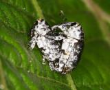 Copulating Weevils