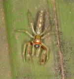 Lyssomanes jumping spider under palm leaf