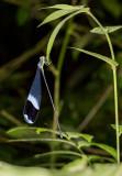 Blue-winged Helicopter (Megaloprepus caerulatus)
