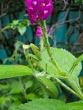 large mantis on Stachytarpheta