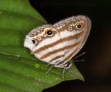 Satyr (white-banded Pareuptychia metaleuca?)