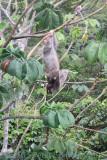 Brown-throated Three-toed Sloth (Bradypus variegatus)
