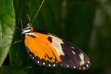 Tigerwing (Hypothyris lycaste(?))