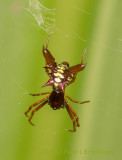 Spiky Orbweaver, Dorsal