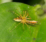 Lynx spider with hoverfly