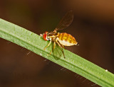 Is this hoverfly pregnant?