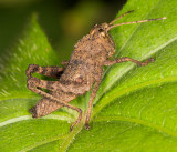 Lttle brown grasshopper