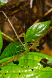 Green Stick Insect