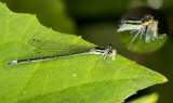 Damselfly munching on hopper