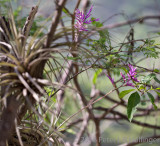 purple-flowered tillandsia on acacia