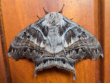 Moth on Dr. Weaver's Door