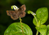 brown butterfly on boraginaceae