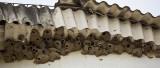 Chestnut-collared Swallows (Petrochelidon rufocollaris)