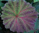 Young Gunnera Leaf