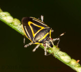 black bug with yellow triangle