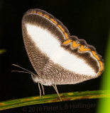brushfoot butterfly