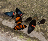 butterflies at lick