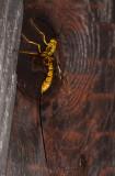 Giant Ichneumon (Megarhyssa greenei) 50