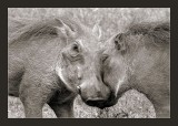 Pig(c)torial Affection