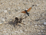Tarantula / Pepsis Wasp (Tarantula Hawk) Battle