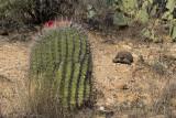 Sonoran Desert Tortoise #3
