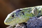 What can you see in the eye of this lezard ??... My refection when I shot this little guy!