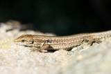 De forme très élancée, la longueur du lézard des murailles mâle peut atteindre jusqu'à 28cm maxi, la femelle jusqu'à 18cm.