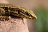 Portrait d'un petit lézard des murailles - Portrait of a wall lizard