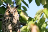 It hunts at night but is perhaps most easily seen perched in a tree in its daytime roost