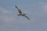 Possible Common Tern