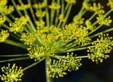 Fireworks (Dill flower)