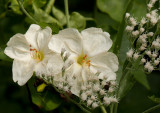 Four O'Clocks and Late Flowering Thoroughwort