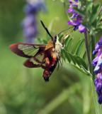 IMG_1366--papillon sphinx-800.jpg