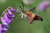 IMG_1483--papillon-sphinx--800.jpg