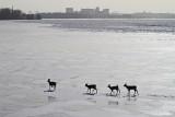 2014 26 Jan_cerfs_0167-4 cerfs sur le fleuve-800.jpg
