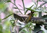 A Grasshopper in DC