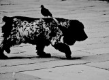 A Pigeon Carrier