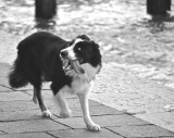 A Venice Border Collie Herding His Owner