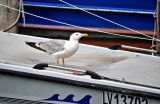 A Thirsty Seagull in Colorful Burano