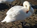 Swan 50.jpg