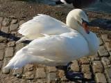 Swan 53.jpg