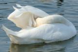 Swan 93.jpg